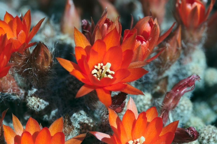 kaktus orange