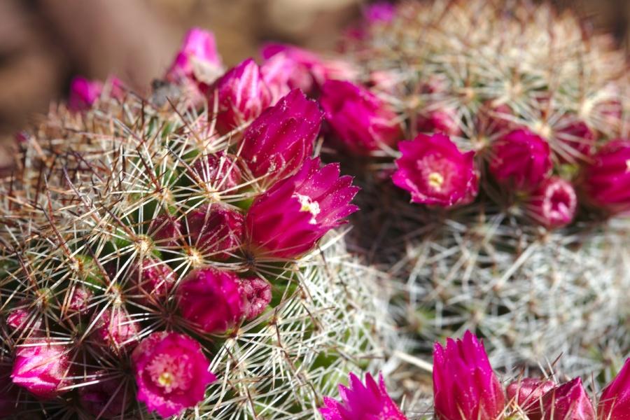 kaktus Rosette