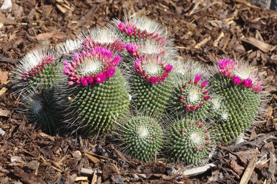 kaktus rund